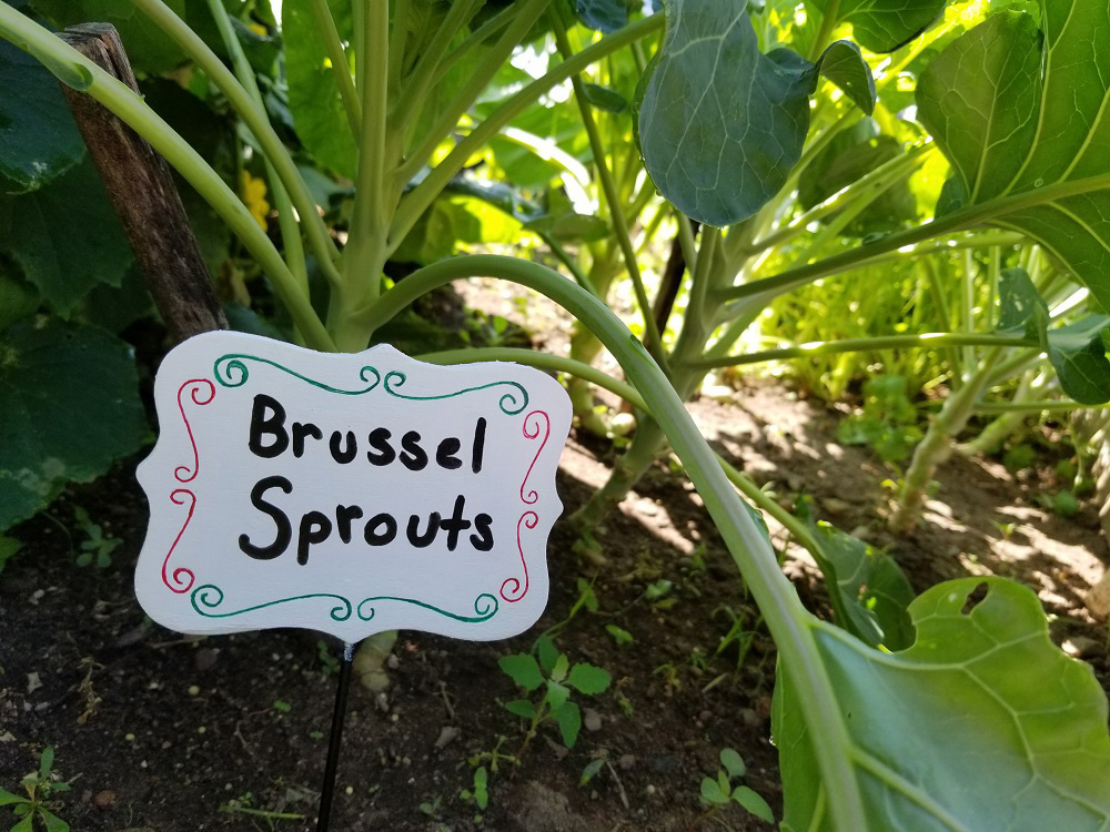 brussel sprouts garden